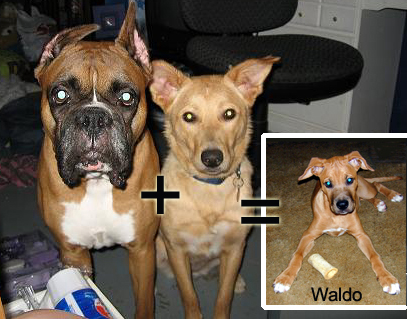 Waldo's dad, Rocky (boxer) + Waldo's mom, Bella (mix) = our boy